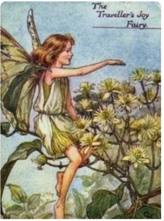 Clematis flower fairy