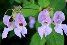 Impatiens Bach flower