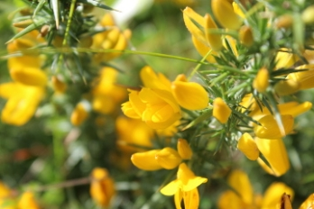 Gorse Bach flower remedy